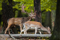 Fallow deer roaring with the female sniffing in the forest in the mating season
