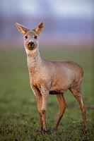 Roe deer, capreolus capreolus, doe walking on a field with mud on hoof.