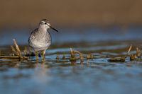 Common greenshank Algarve