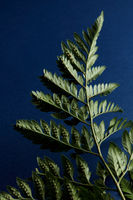 Green fern leaves backside on a dark blue background with copy space. Foliage background. Flat lay