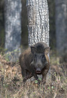 Wild boar, Tadoba National Park, Chandrapur district, Maharashtra, India.