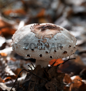 Young parasol mushroom (Macrolepiota procera or Lepiota procera) growing in forest