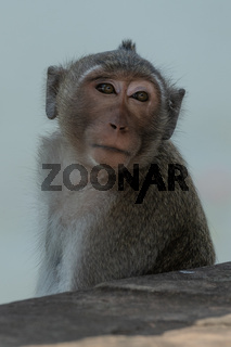 Long-tailed macaque behind stone wall turning head