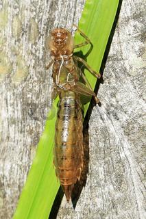 Hülle einer Libellenlarve, Exuvie