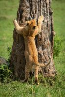 Lion cub tries to climb tree trunk