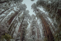 Redwood Forest Landscape in Northern California, USA