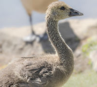 Chicks of the Canada goose (Branta canadensis), june