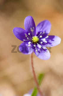 Anemone hepatica flower close-up