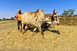 Traditionelles Dreschen von Teff Getreide (Eragrostis tef) mit Zebu-Rindern,Tigray, Äthiopien