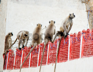 Langurs Hanuman sitting in row on fence