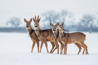 Roe deer herd in winter standing close together in deep snow.
