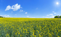 Flowering rape field reaching to the horizon in the sunshine