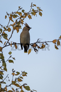 Waxwing on a winter birch with yellow leaves in Perth, Scotland