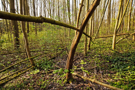 young forest in spring, Witten, Ruhr Area, North Rhine-Westphalia, Germany, Europe