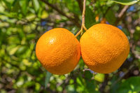 Two fresh oranges hanging at orange tree in Algarve Portugal