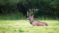 Territorial red deer stag lying down and resting in tranquil nature.