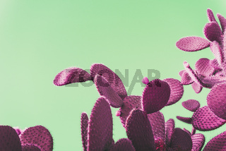pink prickly pear cactus on green background