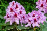 Rhododendron Hybrid Kabarett, Rhododendron hybrid