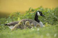 Kanadagans, Branta canadensis, Canada Goose
