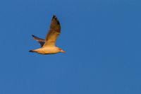 common european gull or herring gull - larus argentatus