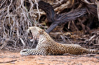 Leopard, Kgalagadi Transfrontier National Park, South Africa, (Panthera pardus)