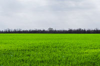 Image of a landscape of a green grass or wheat field. The concept of serenity of ecology and spring