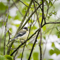 Little bluetit on a branch