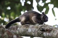 A Lumholtz's tree-kangaroo (Dendrolagus lumholtzi) cub high in a tree in a dry forest  Queensland,