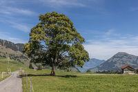 Linden tree in beautiful landscape, Wirzweli, Nidwalden, Switzerland, Europe