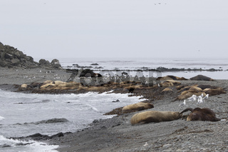 Sandy shore of a small island in a quiet ocean on which lie the Steller sea lion