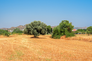 The yellow slanted summer field with a lonely olive tree