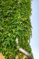 Green ivy plant covering a metal drain