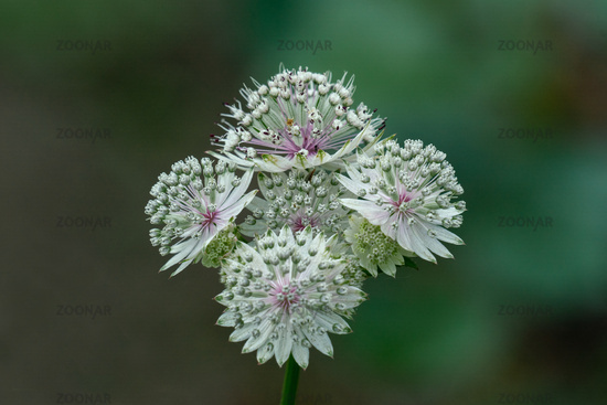 macro shot of white flowers of astrantia major showing many details like pistils and pollen