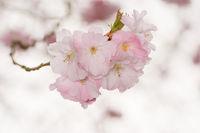 Beautiful pink cherry blossoms