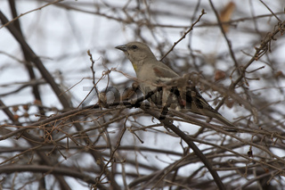 Chestnut-shouldered Petronia that sits in the crown of a bush without leaves in the winter