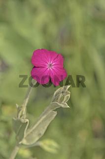 Kronen-Lichtnelke 'Lychnis  coronaria'