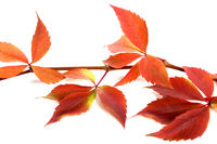 Red autumnal branch of grapes leaves. Parthenocissus quinquefolia foliage.