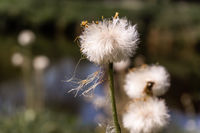 Soft seed balls of a composite flower