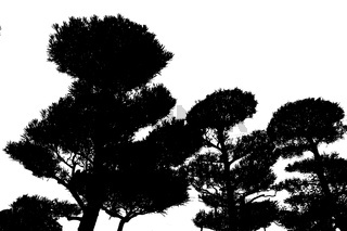 Pine Trees Graphic Silhouette