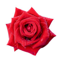 Red rose on isolated white background