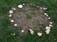 Fairy ring or fairy circle of field mushrooms