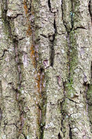 grooved and mossy bark on old trunk of oak tree