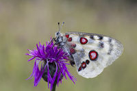 Apollofalter, Parnassius apollo, mountain Apollo