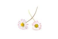 Zwei Gänseblümchen (Bellis perennis), Nahaufnahme