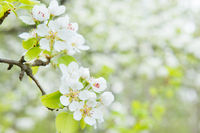 Pear tree in white flowers