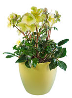 Potted isolated christmas rose flower