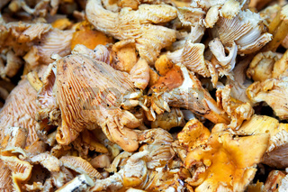 Mushrooms Chanterelles