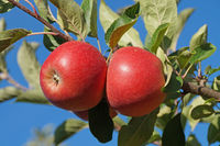 Red Apples 4