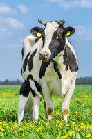 Newborn calf drinks milk from mother cow in meadow