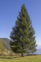 Spruce in the mountains